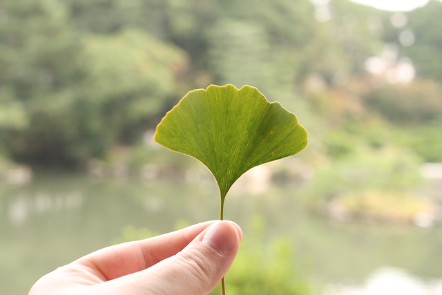 hiroshima shukkeien leaf