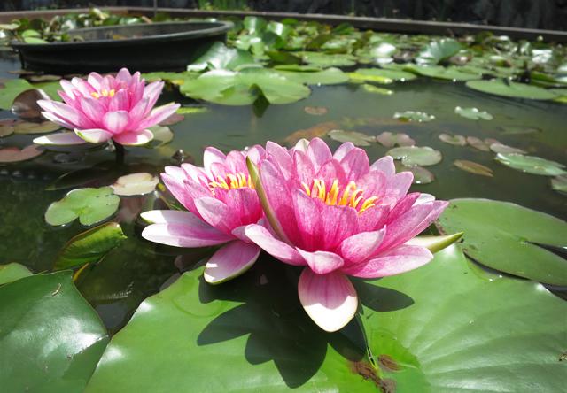 himeji flower