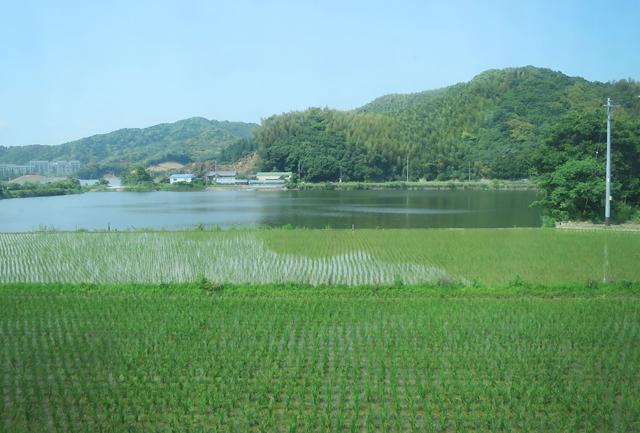 kochi - ricefields
