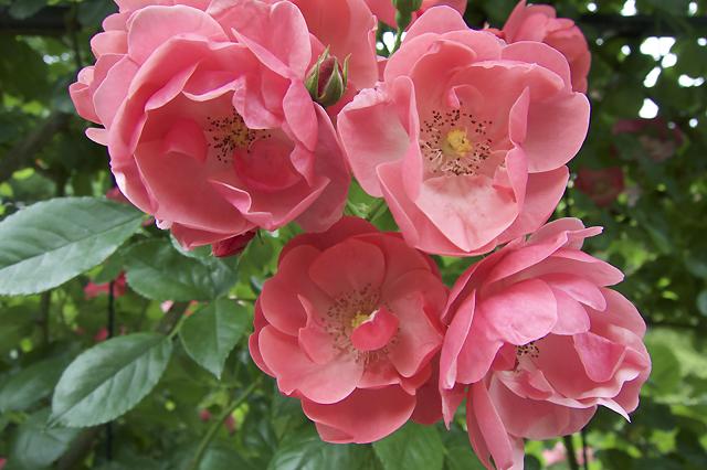 kochi - roses